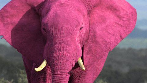 Roze olifant pink
